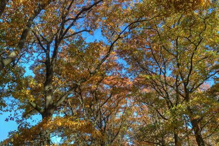 veluwe: Crowns of oak in autumn on the Veluwe, Netherlands Stock Photo
