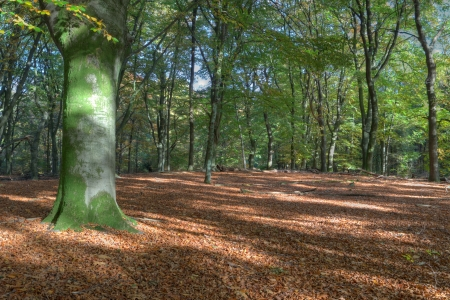 Beech forest in autumn on the Veluwe, Netherlands