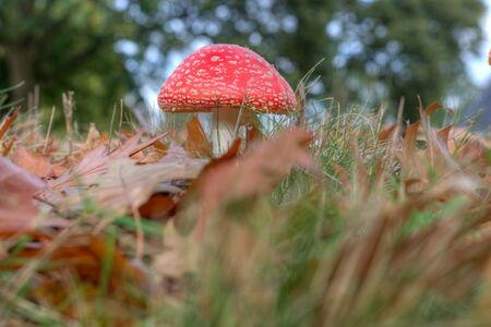 veluwe: Red sulfur head on the Veluwe, Netherlands