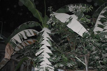 ash: Ash Rain in banana tree Stock Photo