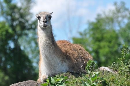 the lama: Lama couch�