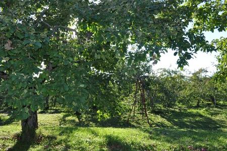paysage: Verger de pommes