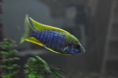 Aulo  Jacob  Undu Reef  - Lemon Jake - Cichlidés Africains Stock Photo