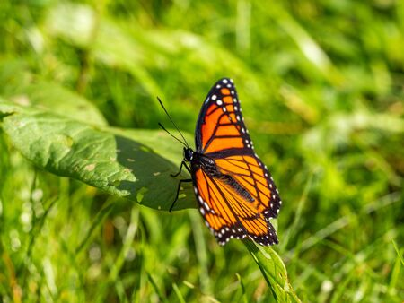 viceroy butterfly in grass