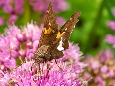 silver spotted skipper butterfly on flower of sedum
