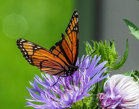 viceroy butterfly on purple aster flower