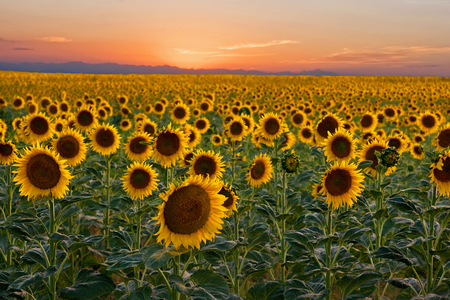 The sunflower fields with the sun setting over the mountains in Colorado