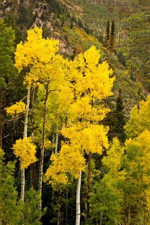 Tall Aspen trees as the leaves are changing in Colorado photo