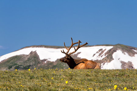 rocky mountain: A Bull elk lounges in the tundra and wildflowers in Rocky Mountain National Park, Colorado Stock Photo