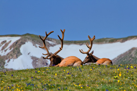 rocky mountain: Rocky Mountain Bull Elk enjoying a lazy afternoon in the wildflowers of the Tundra in Rocky Mountain National Park Stock Photo
