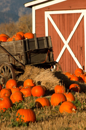 fill in: Pumpkins fill up a rustic wagon in front of a barn in a pumpkin patch