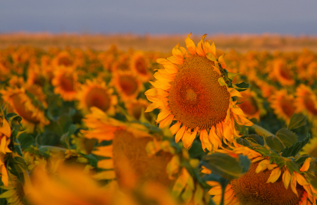 denver at sunrise: A field of sunflowers catches the light of the morning near Denver International Airport at sunrise, blurred background