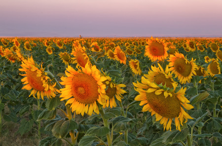 denver at sunrise: The morning sunlight hits the yellow and gold sunflowers on a summer day