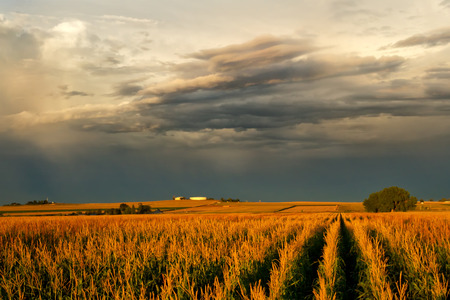 Violent storm clouds over a corn field at sunset Stock Photo