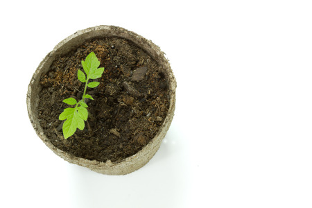 above view of a Biodegradable Peat Moss Pot with Tomato seedlings isolated on white background with room for text or copy space Stock Photo