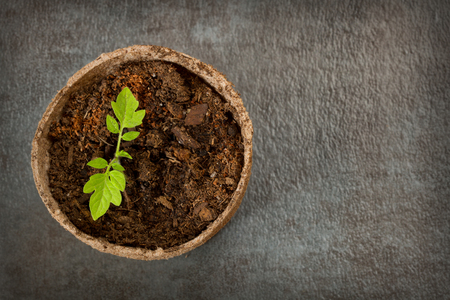 Above View of a Biodegradable Peat Moss Pot with Tomato seedlings on a textured background with room for text or copy space