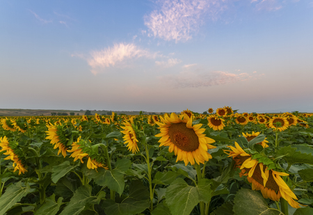 Summer sunflower field at sunrise located along the front range of Colorado under pink and blue skies Foto de archivo