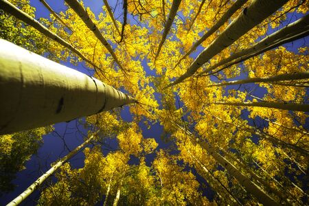 Upper view of the Aspen trees in the fall season with clear blue skies showing through