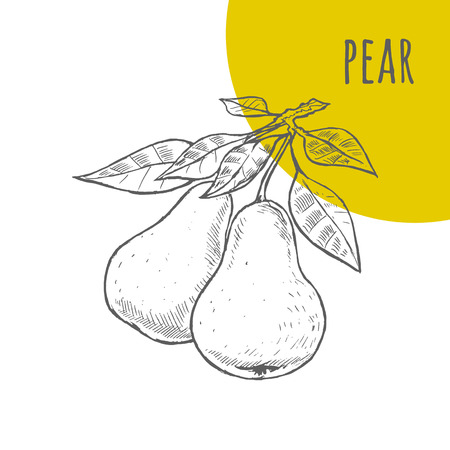 fresh fruit: Pear vector freehand pencil drawn sketch. Two pears on branch with leaves illustration. Part of set of fruits sketchy drawings.