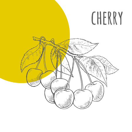 engraved image: Cherries vector freehand pencil drawn sketch. Cherries bunch on branch with leaves illustration. Part of set of fruits sketchy drawings.