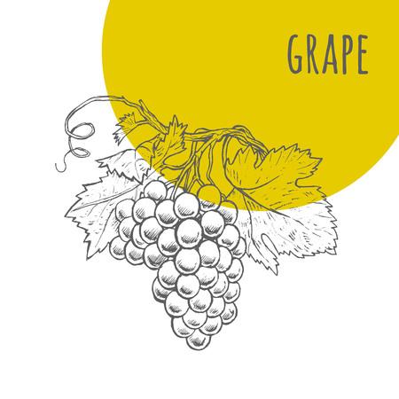 Grape vector uit de vrije hand potlood getrokken schets. Illustratie van druiven tros op tak met bladeren. Een deel van de set van vruchten schetsmatig tekeningen.
