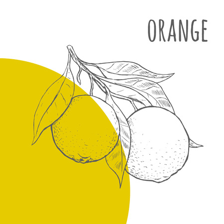fruit orange: Lápiz de color naranja del vector dibujado a mano alzada dibujo. Ilustración de naranjas montón en la rama con hojas. Una parte del conjunto de frutas dibujos esquemáticos.