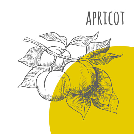 apricots: Apricot vector freehand pencil drawn sketch. Illustration of apricots bunch on branch with leaves. Part of set of fruits sketchy drawings. Illustration