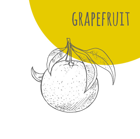 pencil drawings: Grapefruit vector freehand pencil drawn sketch. Illustration of grapefruit on branch with leaves. Part of set of fruits sketchy drawings.