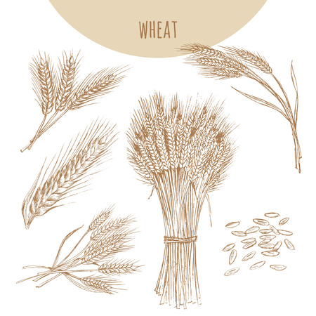 stalk: Wheat ears, sheaf and grains. Cereals sketch hand drawn vector illustration. Icon element for bakery and flour products emblem.
