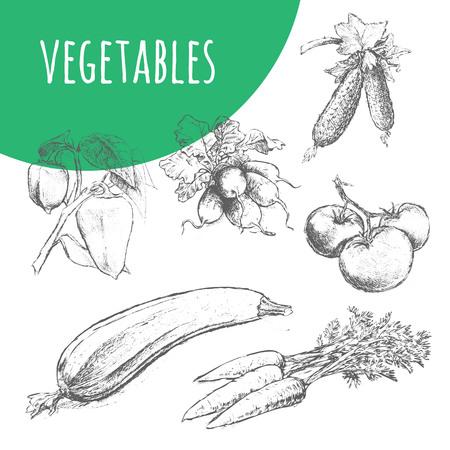 zucchini: Vegetables. Hand drawn pencil sketch illustration. Fresh farm vegetarian food. Vegan design for grocery store, food market, product shop. Carrot, cucumber, zucchini, tomato, radish, pepper. Illustration