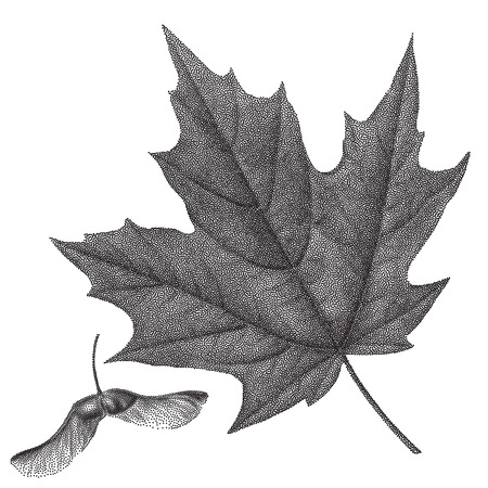 Black vintage engraving of autumn leaves on black background. Vector autumnal maple leaf and helicopter maple seed retro illustration