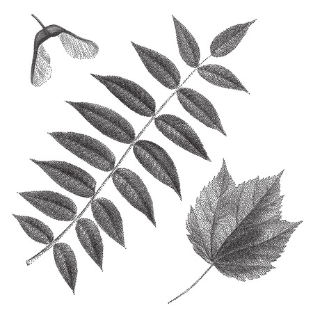 deciduous: Black vintage engraving of autumn leaves on black background. Vector autumnal rowan leaf and helicopter maple seed retro illustration