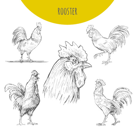 lunar calendar: Rooster cock sketch set. isolated  pencil sketch rooster chicken with comb, hen, cockerel. Detailed feather drawing. Happy New Year 2017 symbol by chinese new year lunar calendar Illustration