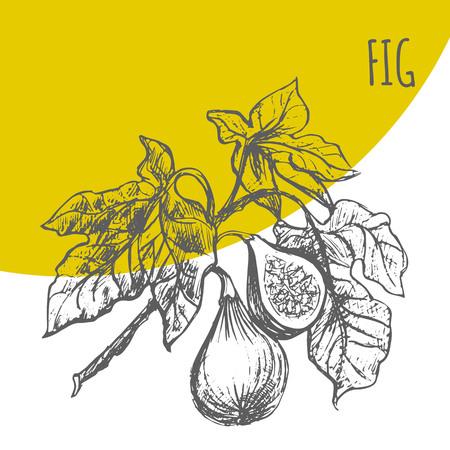 exotic fruit: Fig fruit vector sketch botanical plant illustration. Exotic tropical figs fruit sketch