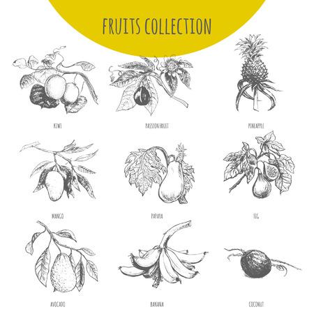 이국적인 과일 벡터 스케치 식물 그림입니다. 열대 파인애플, 바나나, 망고, 파파야, 아보카도, 키위, 열정 과일 maracuya, 무화과, 코코넛 세트