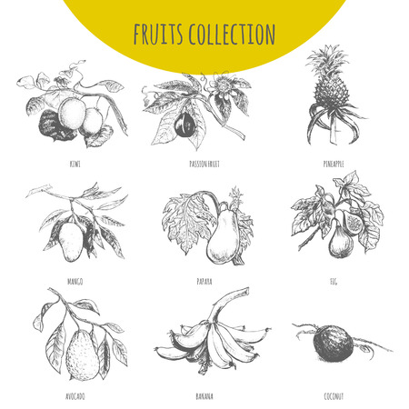 Exotic fruits vector sketch botanical illustration. Set of tropical pineapple, banana, mango, papaya, avocado, kiwi, passion fruit maracuya, figs and coconut