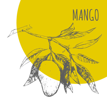 botanical illustration: Mango fruit vector sketch botanical plant illustration. Exotic tropical fruit sketch Illustration