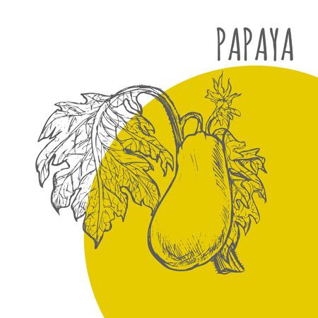 Papaya vector sketch botanical plant illustration. Exotic tropical pawpaw fruit sketch