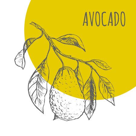 exotic fruit: Avocado fruit vector sketch botanical plant illustration. Exotic tropical fruit sketch