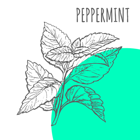 Peppermint vector sketch botanical herb spice for peppermint aroma essential oil or herbal tea package