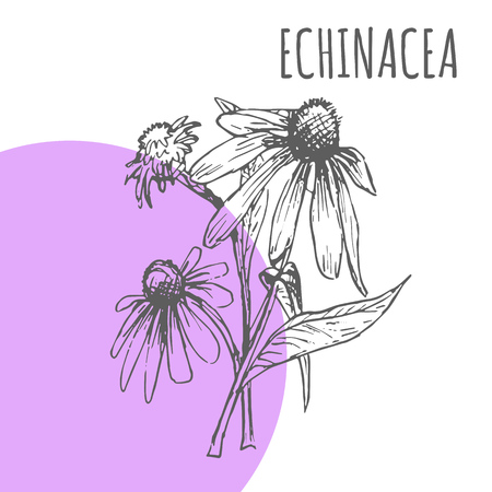 Echinacea vector sketch botanical herb spice for Echinacea aroma essential oil or herbal tea package Ilustracja