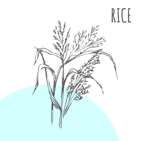 Rice vector sketch botanical plant for rice moisturizer or herbal cosmetic and medicine or cereal package