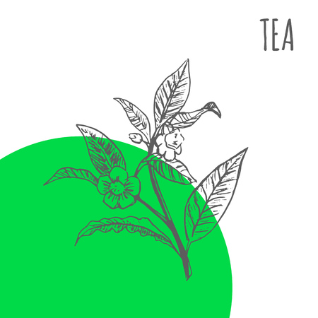 Tea vector sketch botanical herb for green tea tree aroma essential oil or herbal cosmetic and medicine package Ilustracja