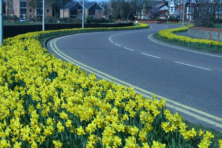boarders: Daffodils in Spring - Lytham St Annes Lancashire UK Stock Photo