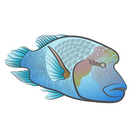napoleon: Cheilinus undulatus. Napoleon fish. Humphead wrasse. Illustration