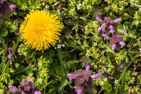 prunella: wild flowers of a large flowered selfheal. Prunella grandiflora