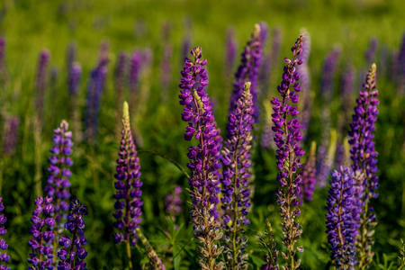 lupines: lupines in field with selective focus. Macro