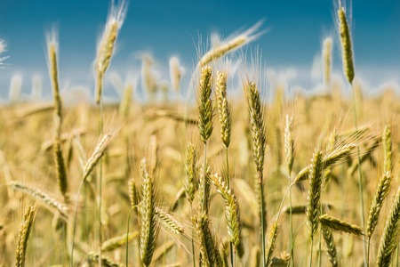 Spikelets of wheat close-up. Stock Photo