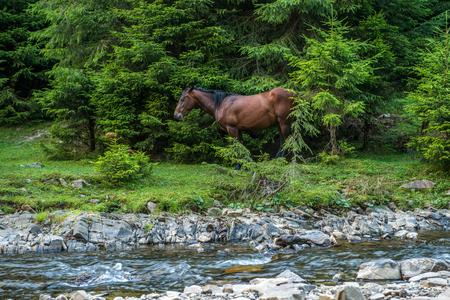 Horses graze near a mountain river in Ukraine Stock Photo