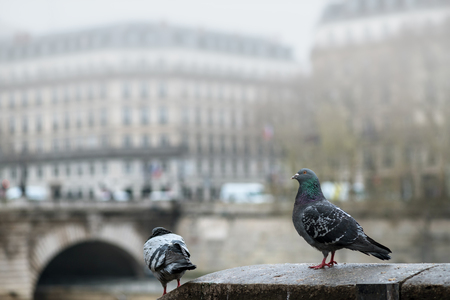 Pigeons sitting on the embankment near the river in the fog.